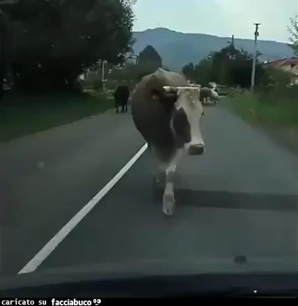 La sexy vacca